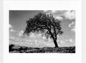 Julius Shulman-VintageVest Pocket Camera-Windswept Tree,Berkeley